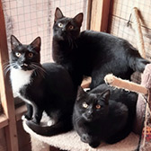 Rescue cats Blossom, Mary and Noir from Barnsley Animal Rescue Charity, Barnsley, South Yorkshire, West Yorkshire, need a home