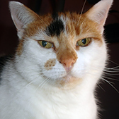 Rescue cat Gemma, at Independent Cat Rescue, Dewsbury, needs a new home