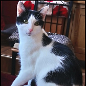 Rescue cat Lavitta, Boote Home for Cats, Liverpool, needs home