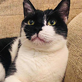 Rescue cat, William from cats guidance rescue, Wigan, Lancashire, needs a home