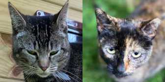 Rescue Cats Beatrice & Coco, ICR (Independent Cat Rescue), Bridgend needs a home