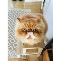 Harry Red persian  -